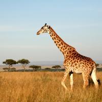 Kenyai szafari - akciós utazások!!!